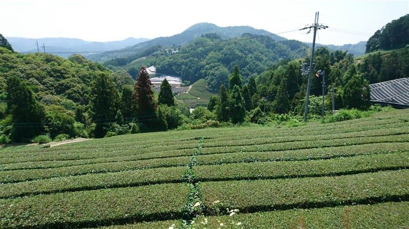 白栖・撰原の茶畑
