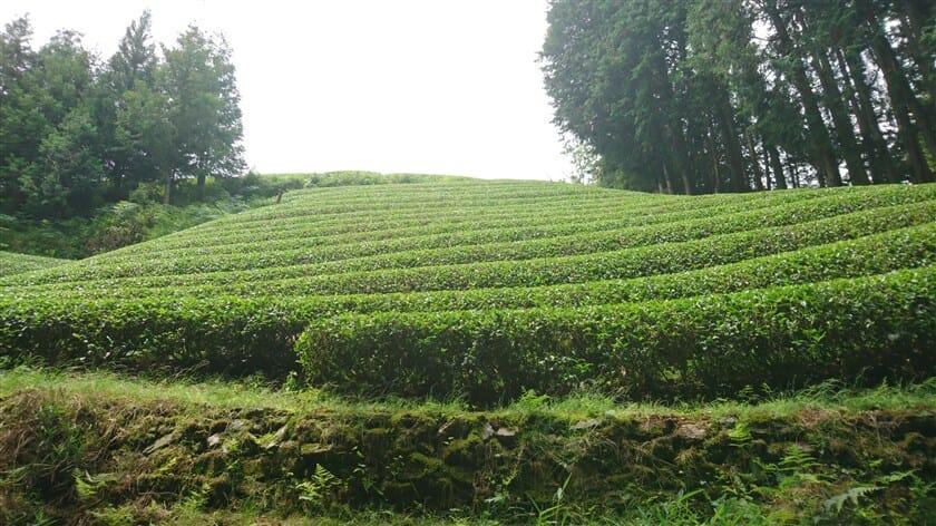 急傾斜の山の上にまで、茶畑が作られている