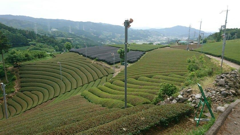 原山の円形茶園