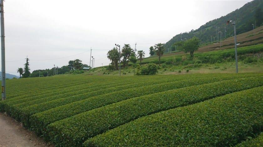円形茶園が見える辺りの茶畑