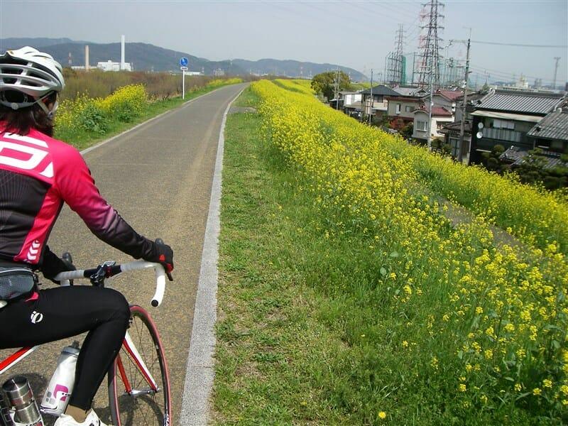 菜の花が咲き乱れる、淀川の左岸