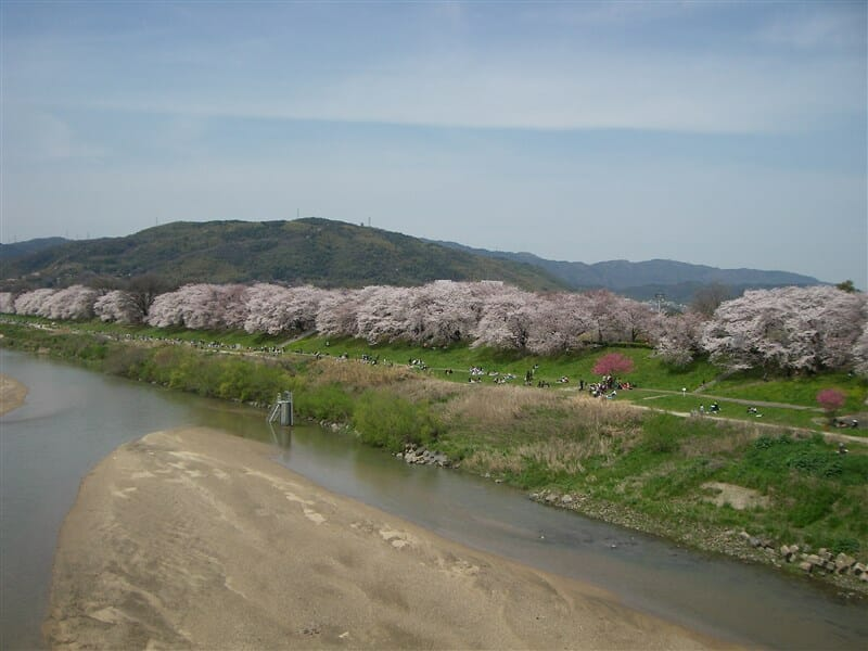 木津川側からの背割り堤の桜