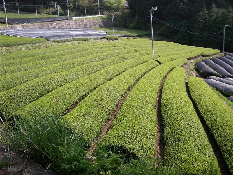 茶畑が多い