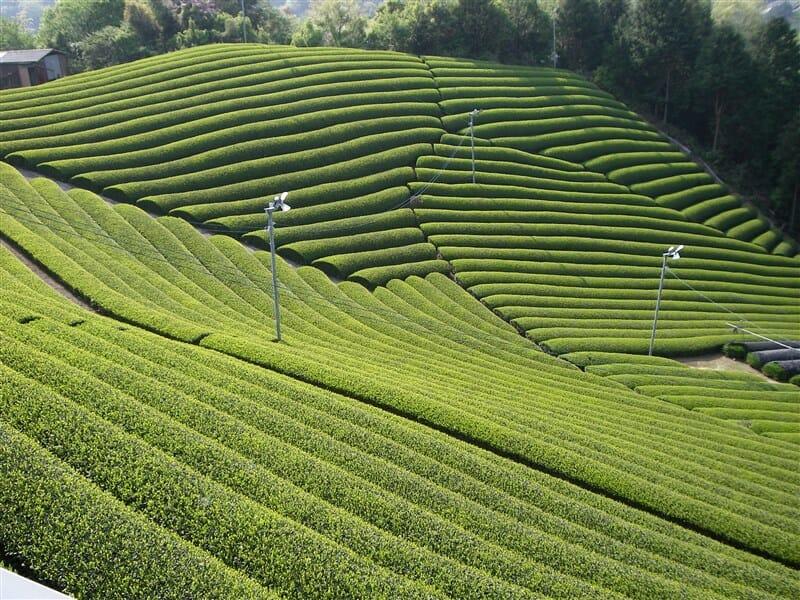 美しく手入れされた茶畑