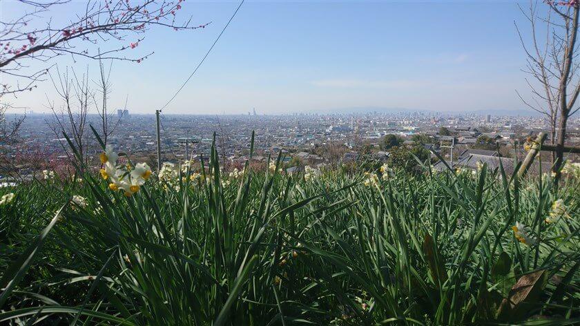 スイセン畑からの大阪市内の眺め
