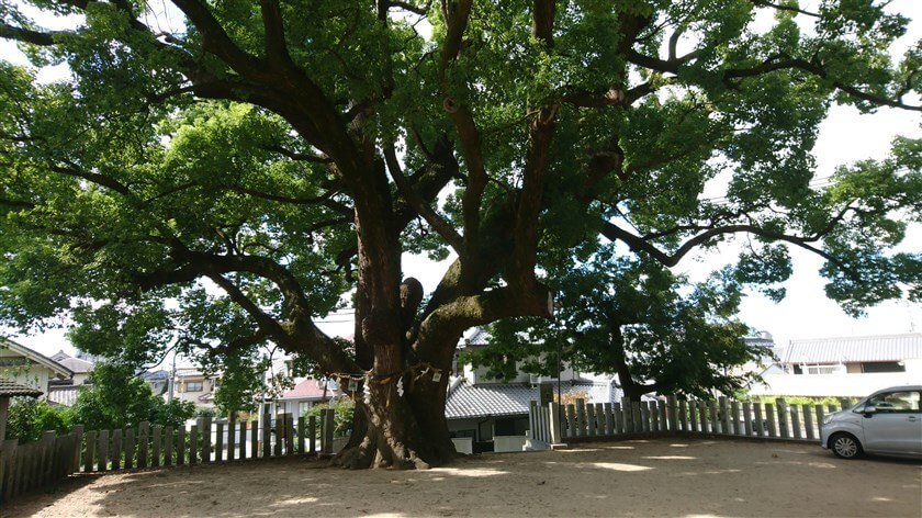 石神社「くすのき」、樹齢700~800年と推定されており、大阪府指定天然記念物