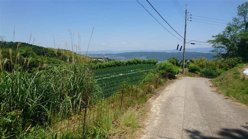 平群は「小菊」で有名だが、こんな山の上でも栽培されている